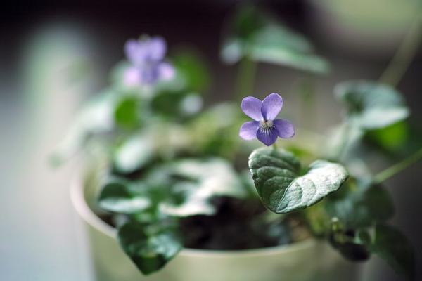 ビオラ・アドゥンカ・カスカデンシス Viola adunca var. cascadensis